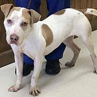 Adopt A Pet :: Culpeper Shelter Miracle - Fredericksburg, VA