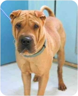 Shar Pei Dog for adoption in Houston, Texas - Dusty