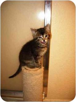 Domestic Shorthair Kitten for adoption in Irvine, California - Kahlua
