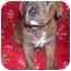 Photo 2 - American Pit Bull Terrier Puppy for adoption in Wauseon, Ohio - pitbull puppy
