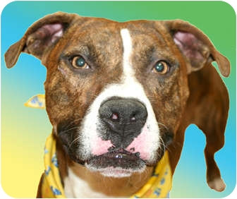 Boxer/Pit Bull Terrier Mix Dog for adoption in Cincinnati, Ohio - Edison