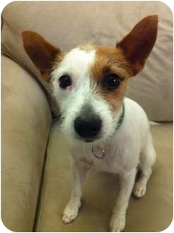 Jack Russell Terrier Dog for adoption in Houston, Texas - Chloe in Houston