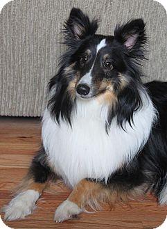 Sheltie, Shetland Sheepdog Dog for adoption in Wichita, Kansas - Romeo