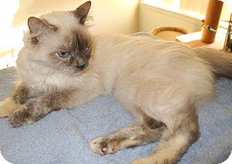 Siamese Cat for adoption in Warren, Michigan - Polly