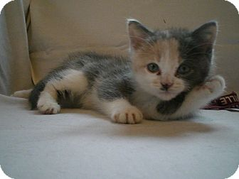 Calico Kitten for adoption in Byron Center, Michigan - Butterball