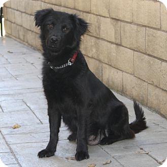 Flat-Coated Retriever/Labrador Retriever Mix Dog for adoption in La Habra Heights, California - Annie