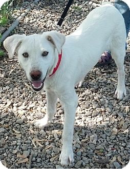 Brittany/English Setter Mix Dog for adoption in Delaware, Ohio - Nickleby