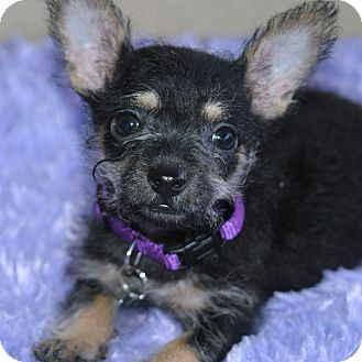Yorkie, Yorkshire Terrier/Chihuahua Mix Puppy for adoption in Santa Ana, California - Wafflez
