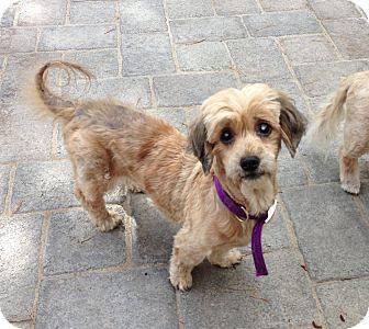 Spaniel (Unknown Type)/Lhasa Apso Mix Dog for adoption in Salem, Oregon - Sassy