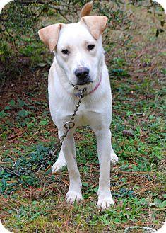 Labrador Retriever Mix Dog for adoption in Media, Pennsylvania - Harlow