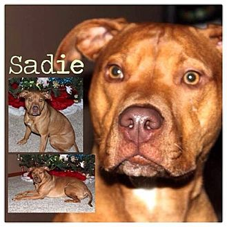 American Pit Bull Terrier Mix Dog for adoption in Garden City, Michigan - Sadie