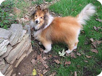 Sheltie, Shetland Sheepdog Mix Dog for adoption in Wilmington, Delaware - Finlay