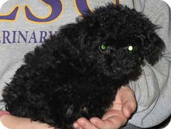 Poodle (Toy or Tea Cup) Puppy for adoption in Salem, New Hampshire - Thurkle