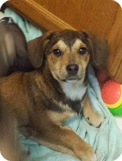 Cardigan Welsh Corgi/Australian Shepherd Mix Puppy for adoption in Davisburg, Michigan - Denver