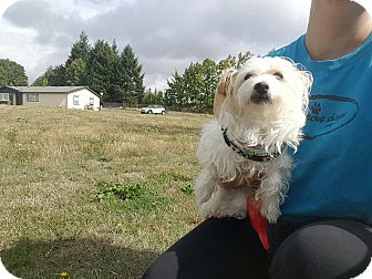 Terrier (Unknown Type, Medium)/Maltese Mix Dog for adoption in Vancouver, Washington - Cali