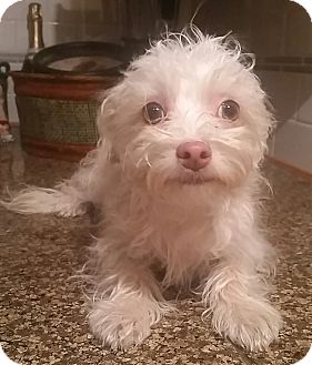 Maltese/Poodle (Miniature) Mix Puppy for adoption in Temecula, California - Comet