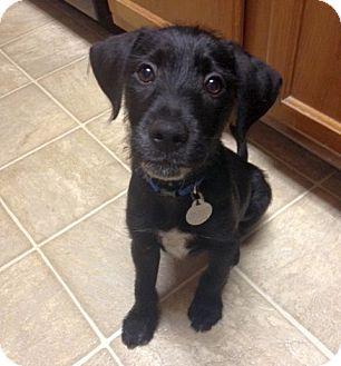 Labrador Retriever/Terrier (Unknown Type, Medium) Mix Puppy for adoption in Loveland, Ohio - Apollo