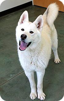Akita/Husky Mix Dog for adoption in Edgewood, New Mexico - Ice Cube