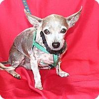 Mexican Hairless/Chihuahua Mix Dog for adoption in Umatilla, Florida - Abe
