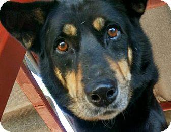 Rottweiler/Labrador Retriever Mix Dog for adoption in Toronto, Ontario - Cedric