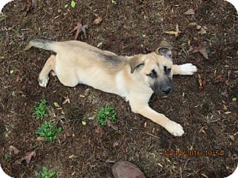 Labrador Retriever/Shepherd (Unknown Type) Mix Puppy for adoption in Oswego, New York - BOGART