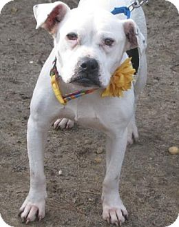 Bulldog Mix Dog for adoption in Voorhees, New Jersey - Athina