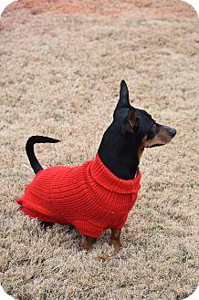 Miniature Pinscher/Dachshund Mix Dog for adoption in Chicago, Illinois - Gonzo