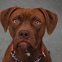 Adopt A Pet :: Karma - East Randolph, VT
