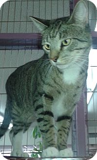 Domestic Shorthair Cat for adoption in Whittier, California - Toby