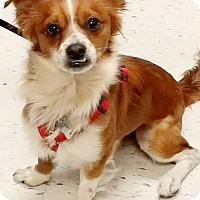 Adopt A Pet :: Brando - Monrovia, CA