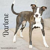 Adopt A Pet :: DARLENE - Modesto, CA