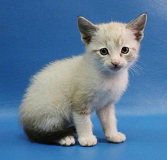Snowshoe Kitten for adoption in Overland Park, Kansas - Tunapickles