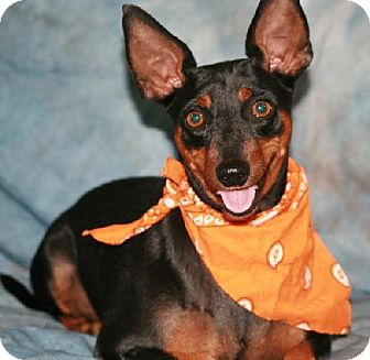 Manchester Terrier/Miniature Pinscher Mix Dog for adoption in Santa Fe, Texas - Mr. Elvis/with video