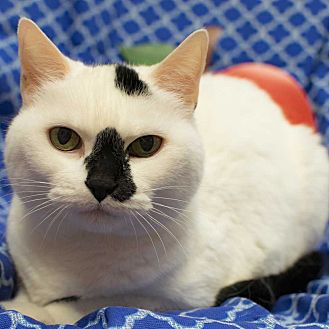 Domestic Shorthair Cat for adoption in Addison, Illinois - Marshmellow