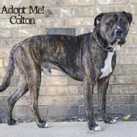 Adopt A Pet :: Colton - West Des Moines, IA