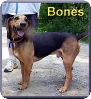 Beagle/Hound (Unknown Type) Mix Dog for adoption in Aldie, Virginia - Bones