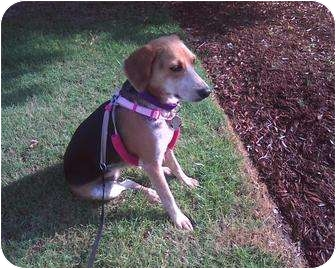 Beagle Dog for adoption in Sneads Ferry, North Carolina - Casey
