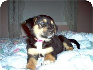 Rottweiler Mix Puppy for adoption in Marlton, New Jersey - Baby Girl Shelby