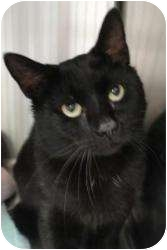 Domestic Shorthair Cat for adoption in Spruce Pine, North Carolina - Dayton