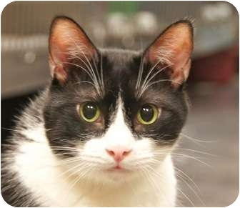 Domestic Shorthair Cat for adoption in Houston, Texas - Victor