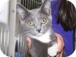 Domestic Shorthair Kitten for adoption in Franklin, Tennessee - Diva