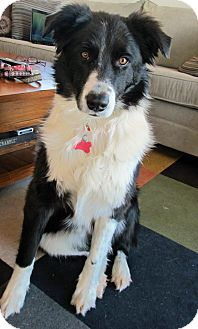 Border Collie Mix Dog for adoption in Glenrock, Wyoming - Trip