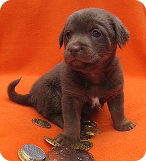 Spaniel (Unknown Type)/Dachshund Mix Puppy for adoption in Irvine, California - Bronze