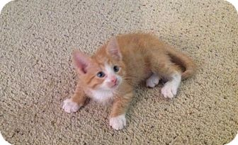 Domestic Shorthair Kitten for adoption in Des Moines, Iowa - Chester