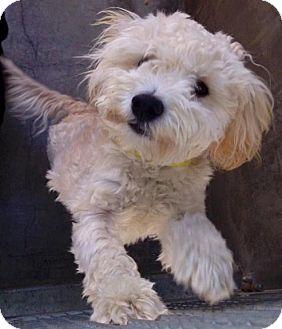 Cockapoo Mix Puppy for adoption in Encino, California - Ramona