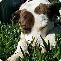 Catahoula Leopard Dog/Cattle Dog Mix Dog for adoption in Pflugerville, Texas - Josie