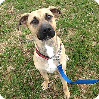 American Bulldog Mix Dog for adoption in Port Hope, Ontario - Buckley
