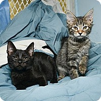 Adopt A Pet :: Tinga - New York, NY