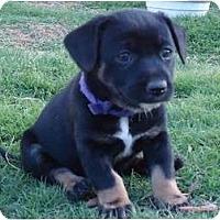 Adopt A Pet :: Serravi - Arlington, TX