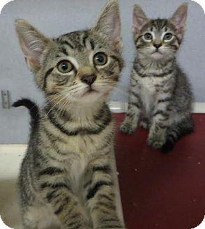 Domestic Shorthair Kitten for adoption in Middletown, New York - Lil&Phil